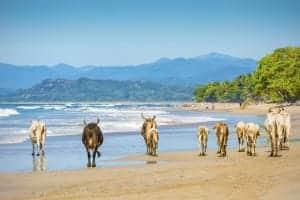 Vaches sur la plage