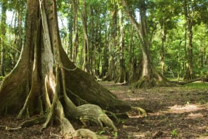 Puerto Viejo arbres racinaire