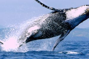 Baleine Uvita