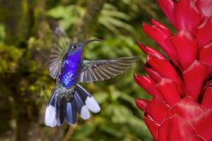colibri-bleu