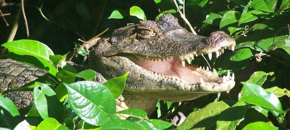Caïman dans les canaux de Tortuguero