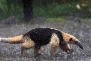 Fourmilier sous la pluie