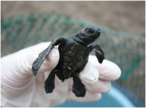 Fondation Corcovado, bebe tortue