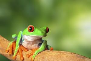 Des grenouilles colorées