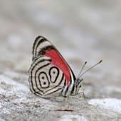 Papillon Diaethria phlogea