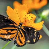papillon noir et orange