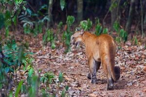Puma au parc national Corcovado