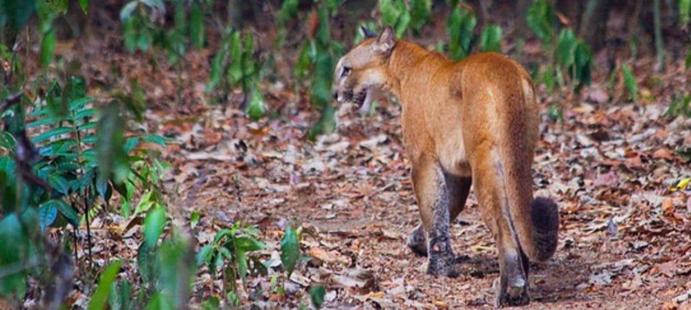 Puma Corcovado