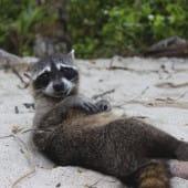 Raton laveur allongé sur le sable a Manuel Antonio au Costa Rica
