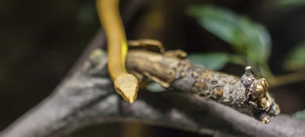 Vipère jaune