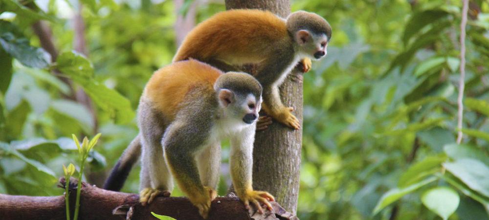 Les singes écureuils de Manuel Antonio
