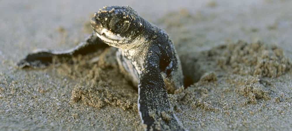 Naissance d'un bébé tortue au Costa Rica