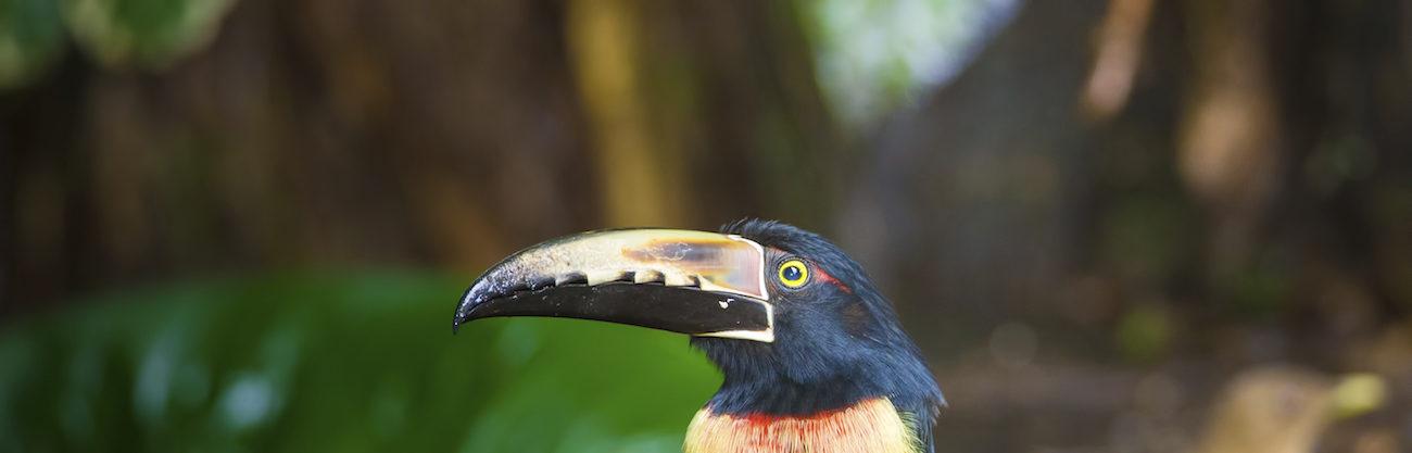 aracari - Pteroglossus frantzii a voir lors de votre circuit au Costa Rica