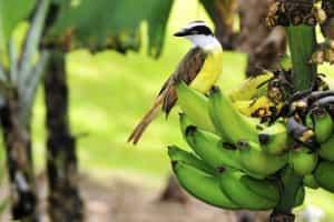 Tyran quiquivi et banane