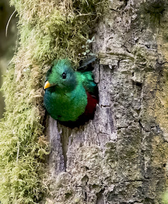 Observer le quetzal au Costa Rica lors du circuit Quetzal