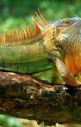 Iguane vert Costa Rica