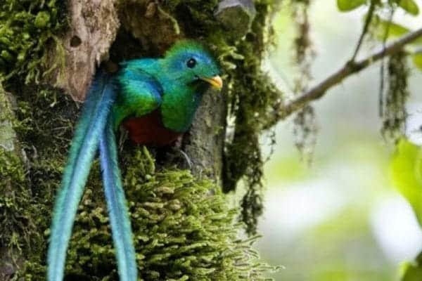 Quetzal a San Gerardo de Dota