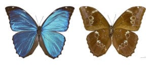 paillons-morpho-costa-rica-decouverte