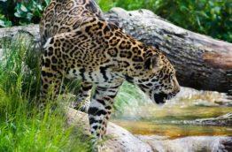 Circuit jaguar pour ne rien manquer du Costa Rica