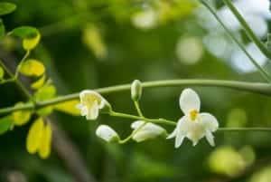 Fleur de Moringa