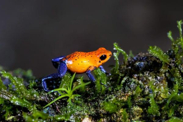 Oophaga pumilio - Circuit grenouille au Costa Rica