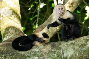 singes-capuchino-costa-rica-decouverte