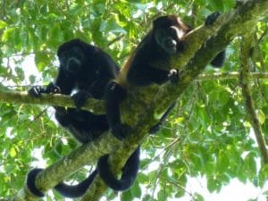 singes-congo-costa-rica-decouverte