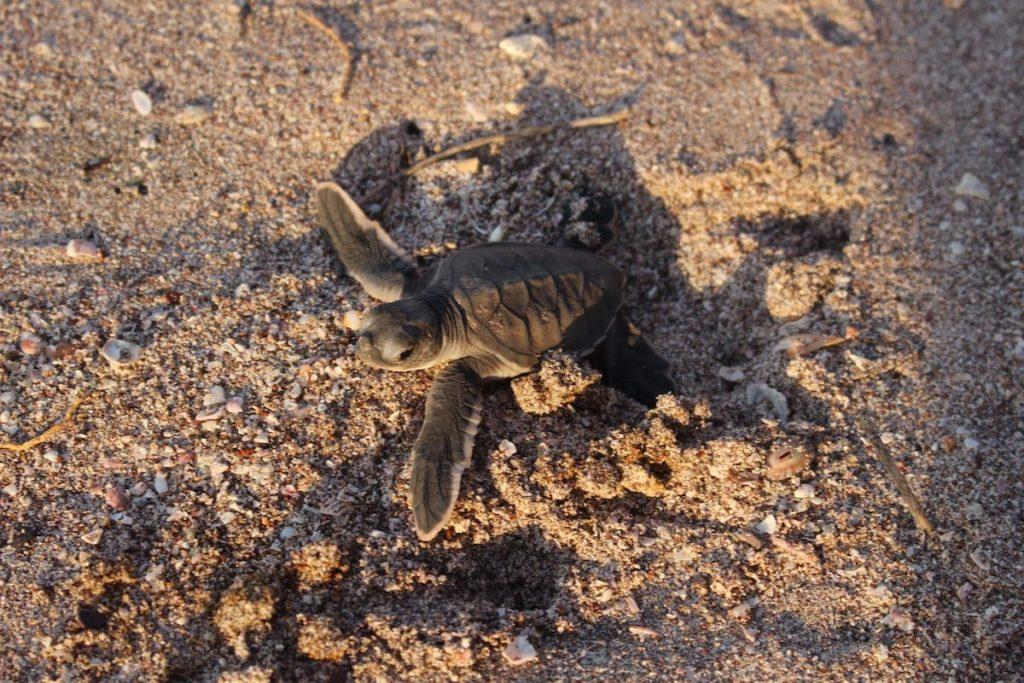 tortue-playa-mina-costa-rica-decouverte