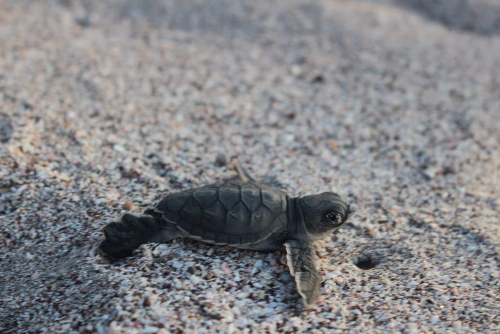tortue2-playa-mina-costa-rica-decouverte