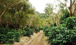 cafe-tarrazu-coopedota-costa-rica-decouverte