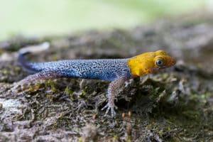 gecko-tete-jaune-costa-rica-decouverte