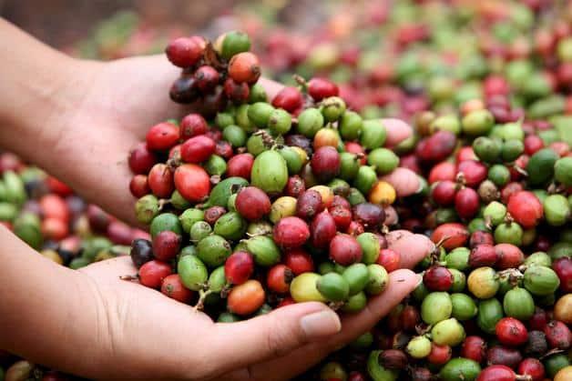 cafe-biologique-costa-rica-decouverte