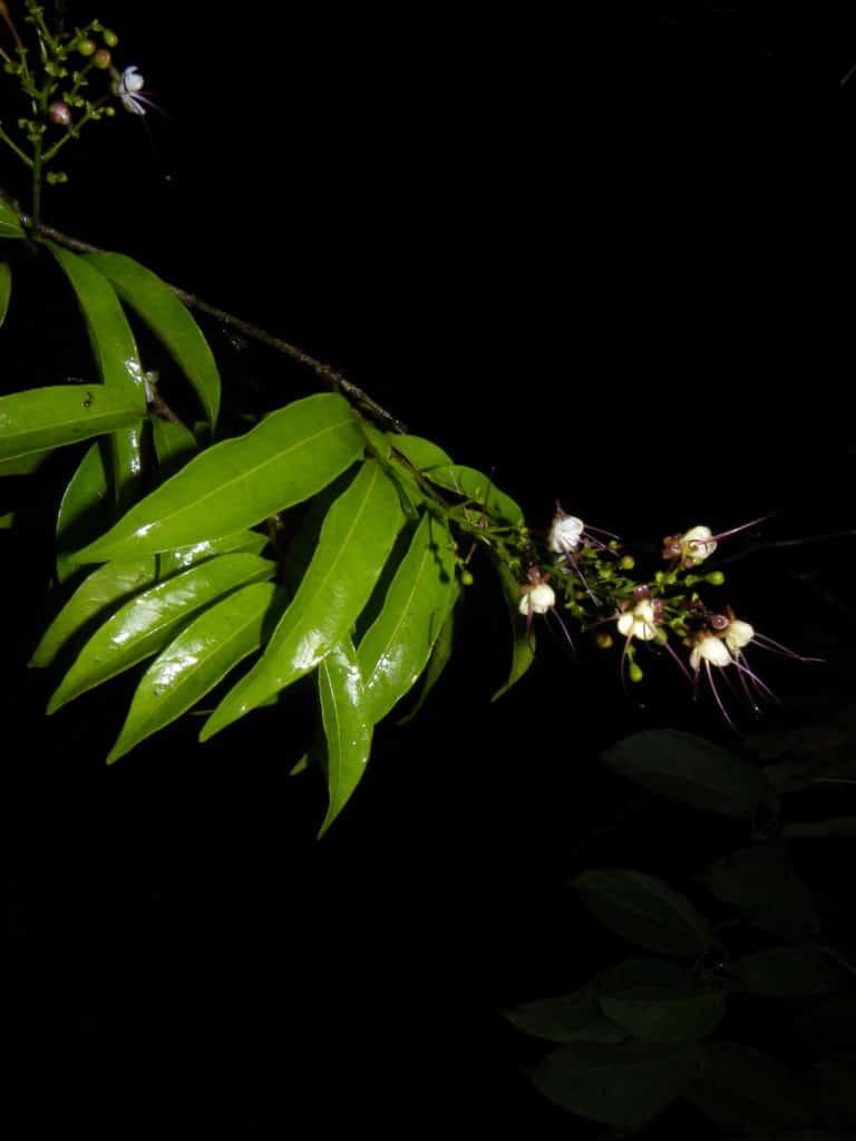 fleur-osa-3-costa-rica-decouverte