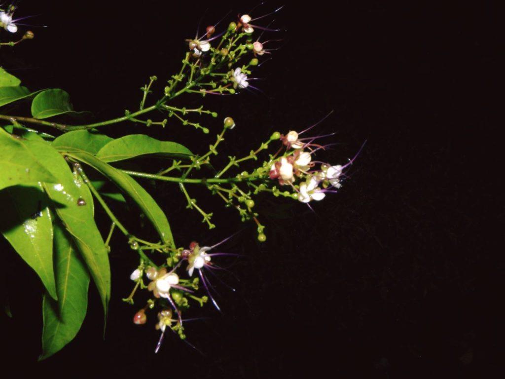 fleur-osa-costa-rica-decouverte
