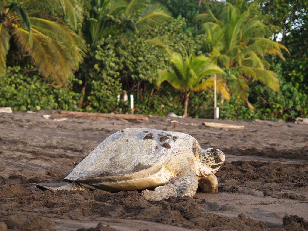 tortuguero-tortue-costa-rica-decouverte