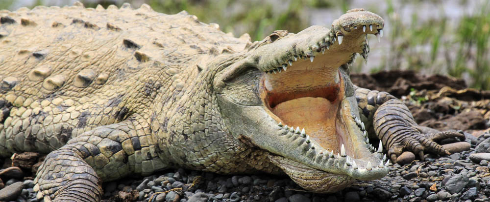 reptiles-crocodile-americain-1-costa-rica-decouverte