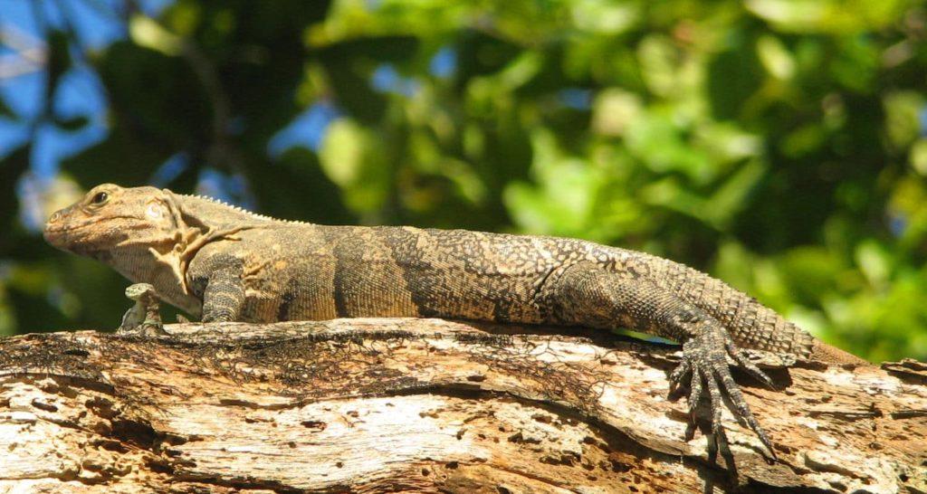 reptiles-ctenosaure-costa-rica-decouverte