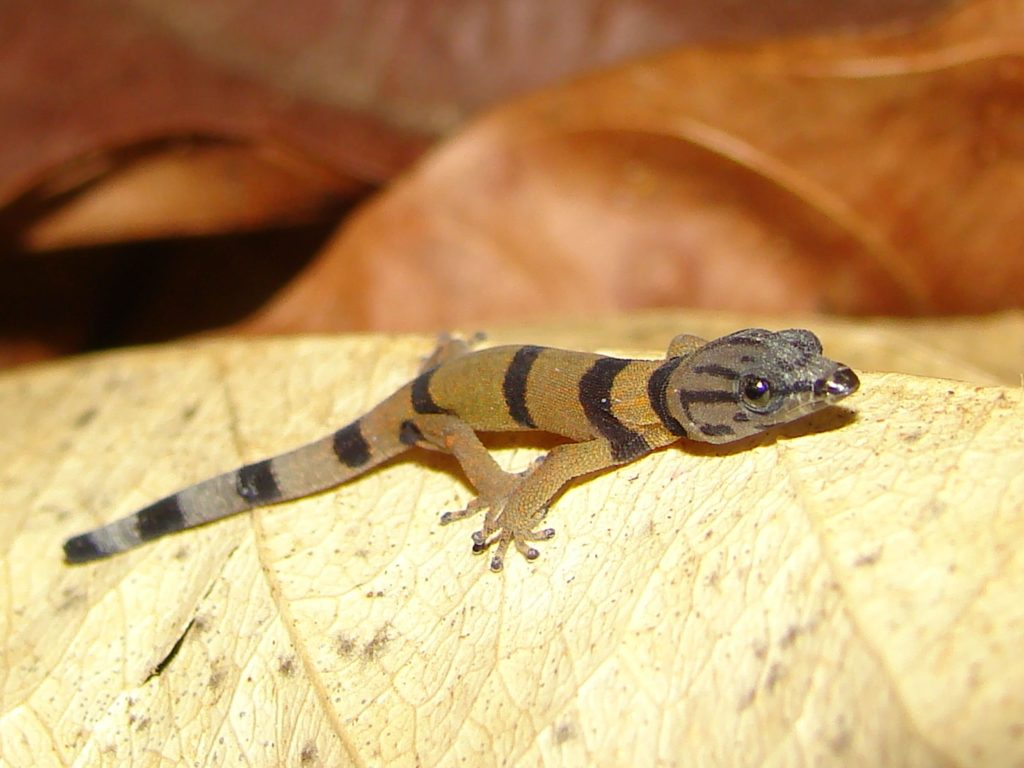 reptiles-gecko-costa-rica-decouverte
