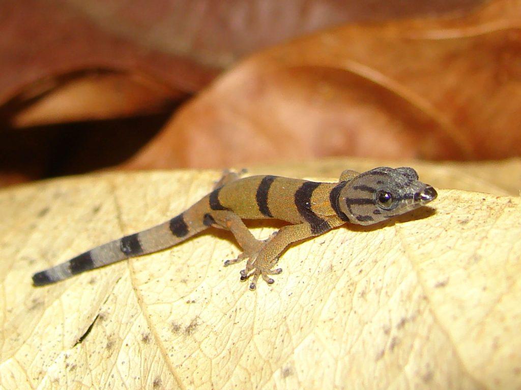 reptiles-gecko-costa-rica-decouverte