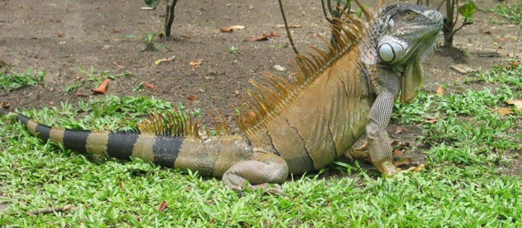 reptiles-iguane-vert-costa-rica-decouverte