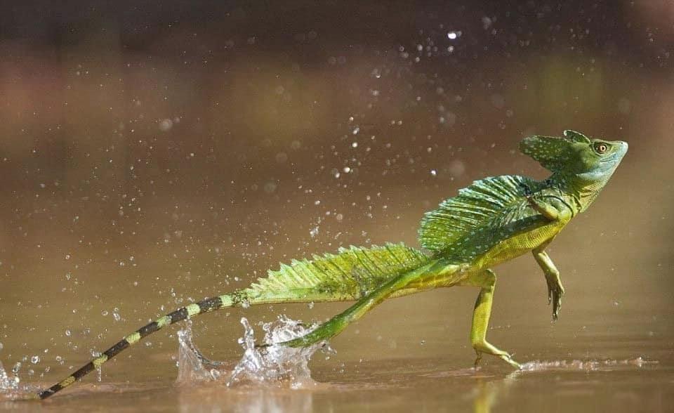 reptiles-jesus-christ-costa-rica-decouverte