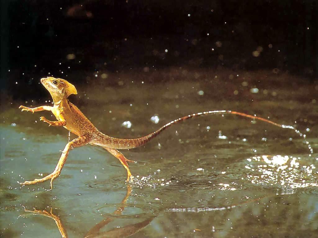 reptiles-lezard-jesus-christ-costa-rica-decouverte