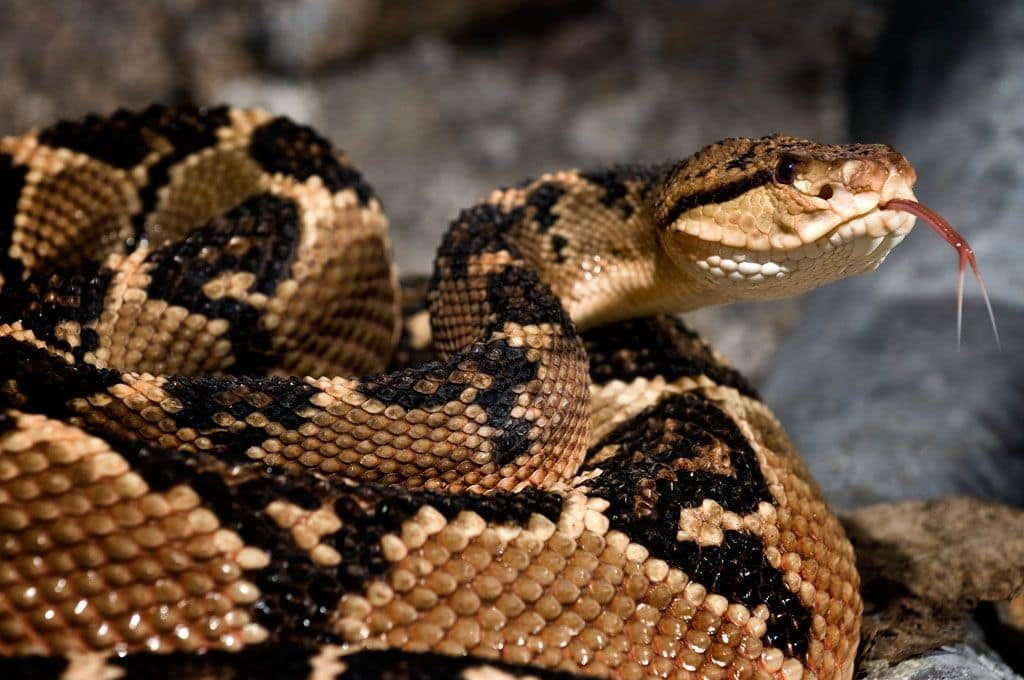 reptiles-serpent-bushmaster-costa-rica-decouverte