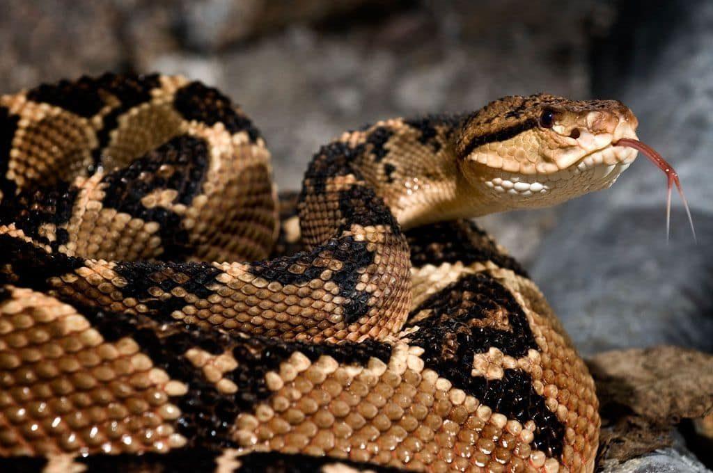 reptiles-serpent-bushmaster-costa-rica-decouverte
