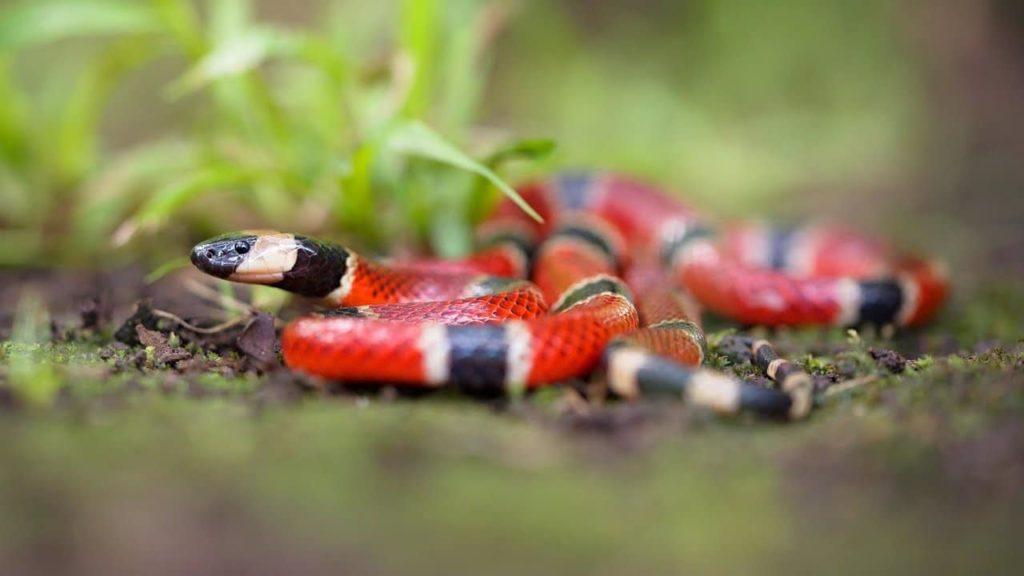 reptiles-serpent-corail-costa-rica-decouverte