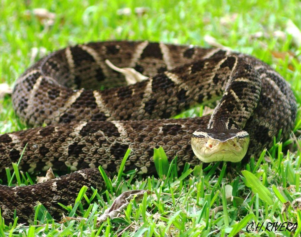 reptiles-terciopelo-costa-rica-decouverte