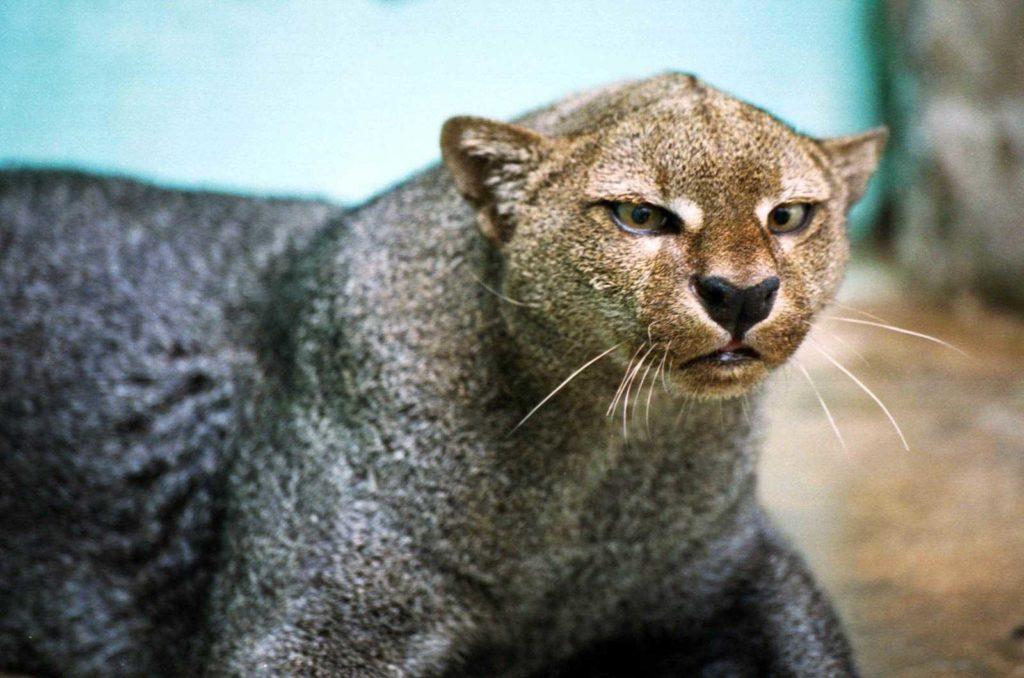 felins-jaguarundi-costa-rica-decouverte
