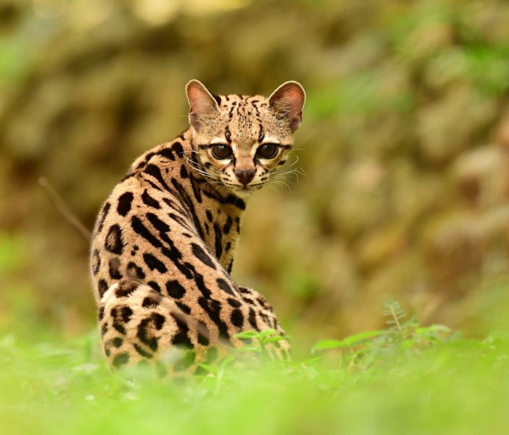 felins-margay-costa-rica-decouverte