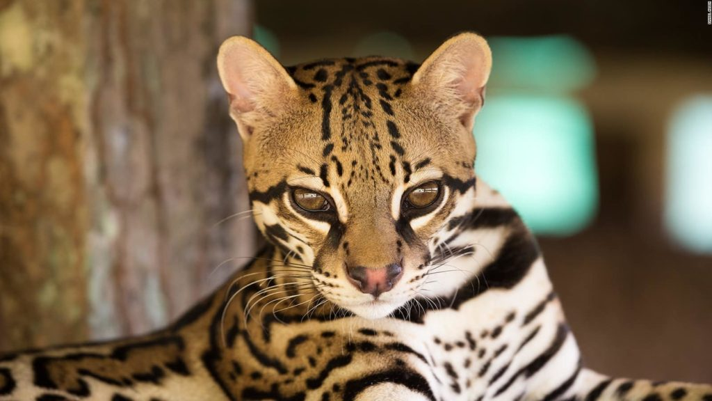 felins-ocelot-costa-rica-decouverte