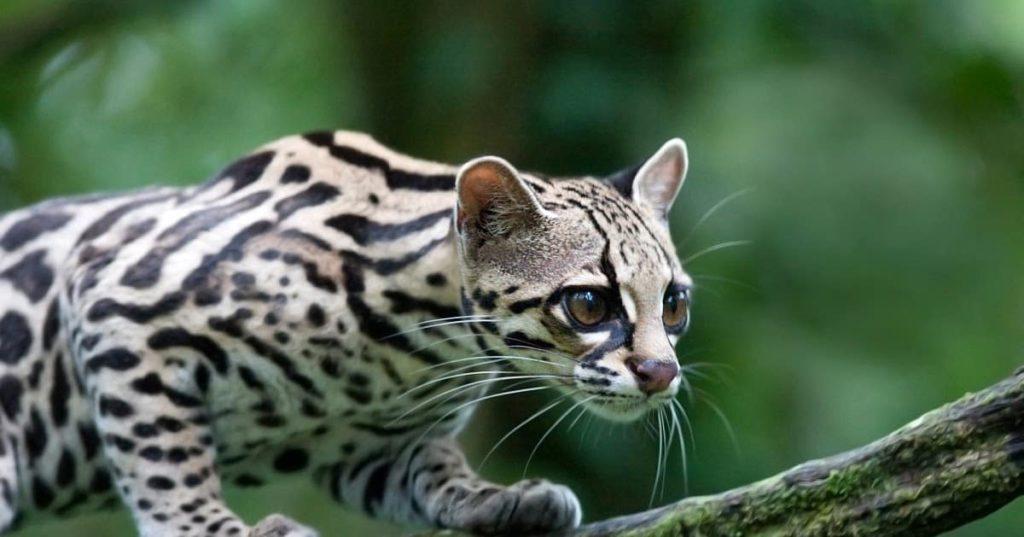 felins-oncilla-costa-rica-decouverte